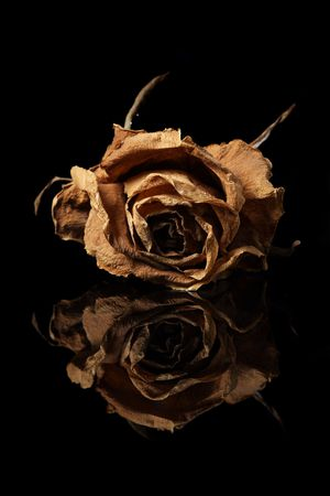 Close up of withered rose with reflection over black background. photo