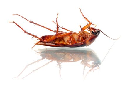 A dead cockroach isolated on white background. Banque d'images