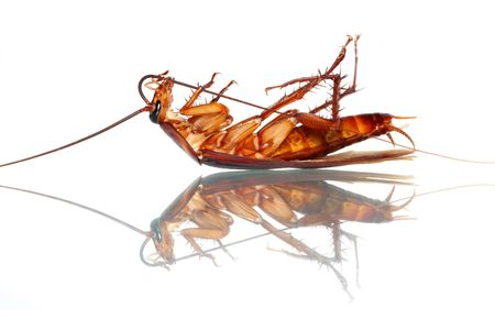 A cockroach bitting it's antenna isolated on white background.