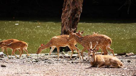 A group of axis deers walking beside river. photo