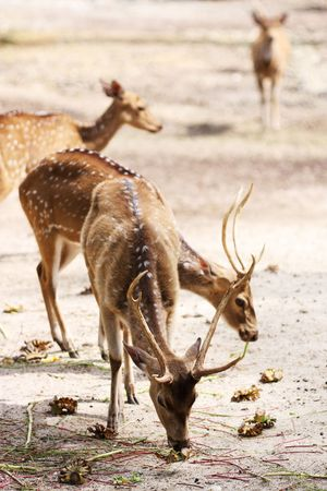 Axis deers eating in a field at Taiping Zoo, Malaysia. photo