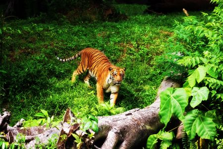 A tiger standing on green grassland in Taiping Zoo, Malaysia. photo