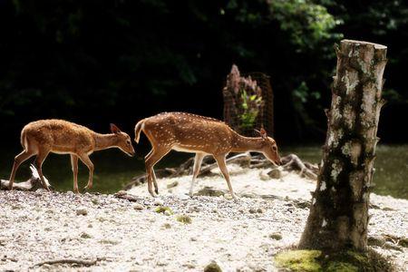 axis: Dos ejes ciervos caminar al lado de r�o al Zoo Taiping, Malasia
