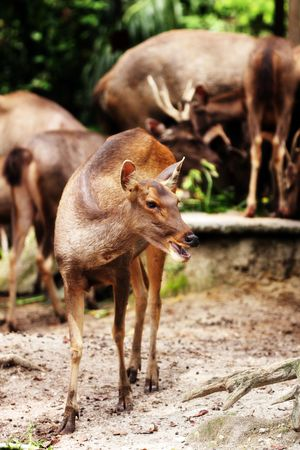 Close up of hog deers in a field at Taiping Zoo, Malaysia. photo