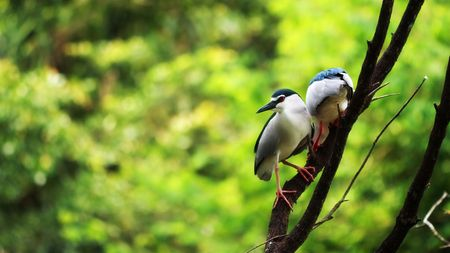 Night heron stopping at branch over green background. Stock Photo - 4846071