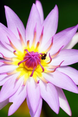 centric: Center close up of waterlily with a bee crawling on it. Stock Photo