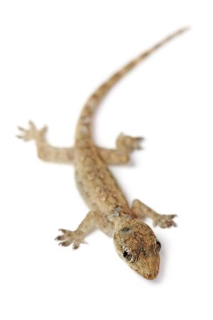 A young gecko isolated on white background. photo