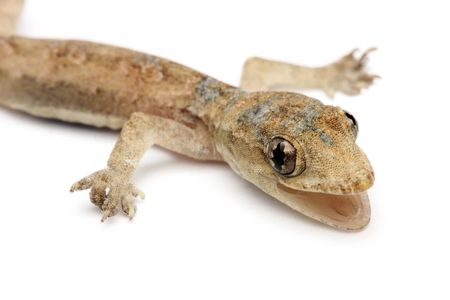 Close up of young gecko isolated on white background. photo