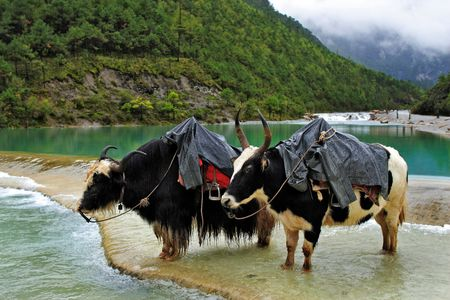 Two yaks standing in White River located at Lijiang of Yunnan, China.