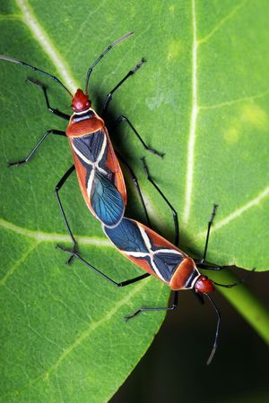 copulate: Close up of shield bugs (Dysdercus philippinus) mating on green leaf.