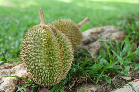 Close up of two durians over green grass background. photo