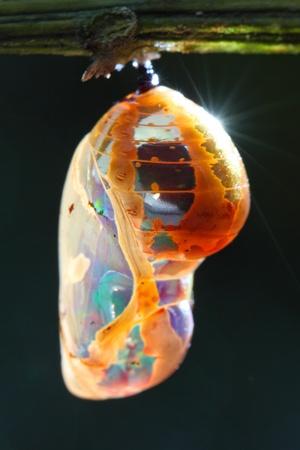 metamorfosis: Una pupa verde amarillo est� colgado en la rama.