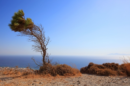 thira: A bended tree standing alone at Ancient Thira, located at Santorini Island, Greece.