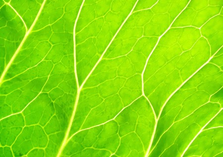 Transparent sheet of a plant leaf background Stock Photo