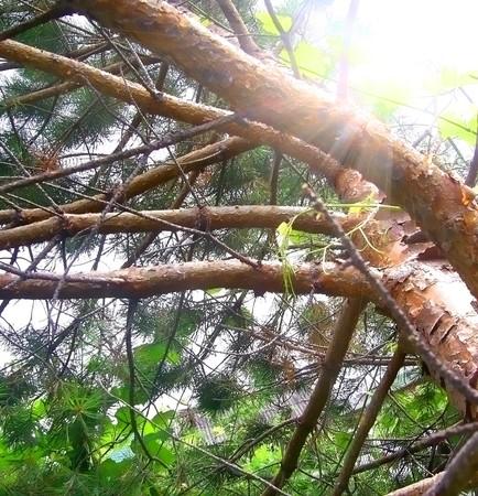 Pine the bottom view tree sun beams