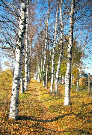 birch lane road in the autumn leaf fal