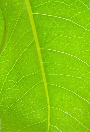 Green Leaf on a gleam FOCUS
