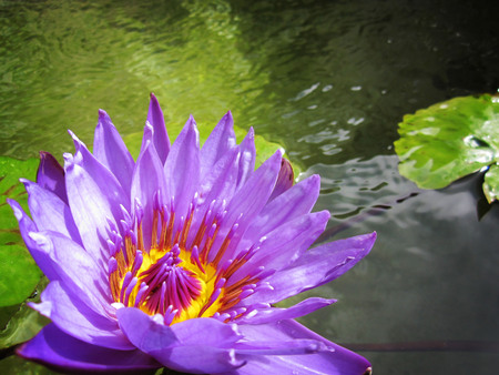 Blooming water lily on a pond in a garden on a summer day. Stock Photo