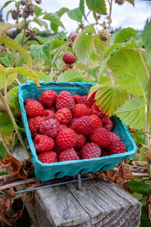 This basket of berries is ready to sell.  An with this image your product will sell like raspberry-hotcakes! Raspberries are ready to be picked on this organic farm.  The fresh, sweet, juicy fruit are a perfect complement to a hot summer day. Stock Photo