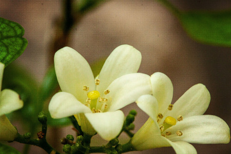 This is a pair of citrus blossoms (orange) in the early spring.