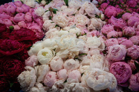 Pink, red, purple, and white peonies of every color are ready to bloom.  The soft tones are perfect for weddings. They colors are so dreamy, you'll feel like you are imagining them. Stock Photo