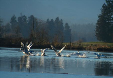 Swans taking off Stock Photo - 775967