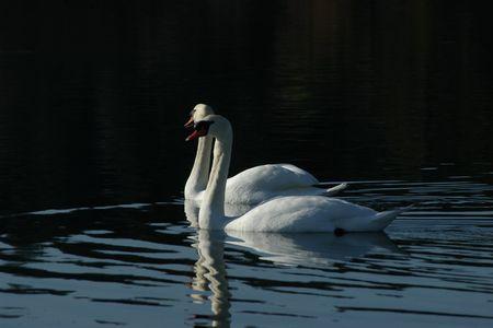 Mute swan pair Stock Photo - 775968