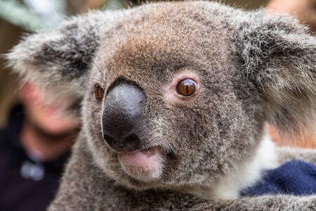 Close up of an Australian koala, Phascolarctos cinereus