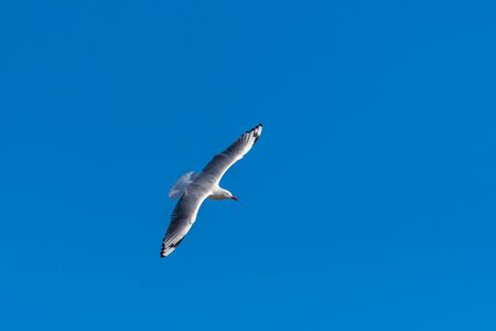 Single seagull flying on a blue sky background in a sunny day over the beach of Manly, Sydney, Australia