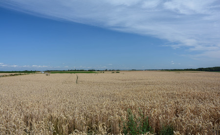 belgian: Belgian Cornfields Stock Photo