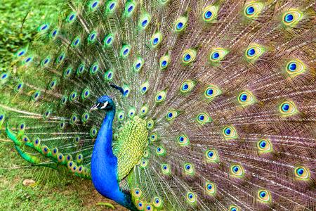 Fotografía de primer plano de los múltiples ojos de las plumas de un pavo real indio (pavo real) en pantalla completa. Capturado en las montañas andinas del sur de Colombia.