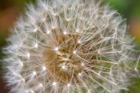 Macro photography of the parachutes of the dandelion seed head. Captured at a garden in the city of Bogota, Colombia.