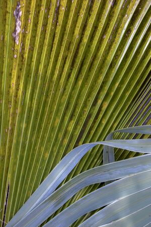 Close-up photography of mexican palm tree leaves. Captured at the Andean mountains of southern Colombia.