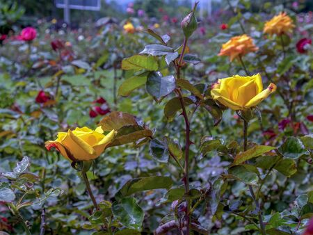 Two yellow roses in the midst of a rose garden. Captured at the Andean mountains of southern Colombia.