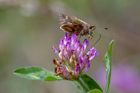 Macro photography of a skipper butterfly feeding on a red clover flower, with a clear view of its proboscis. Captured at the Andean mountains of central Colombia.