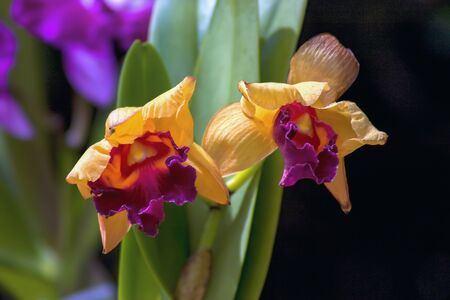 Close-up photography of two yellow cattleya orchids. Captured at the Andean mountains of central Colombia.