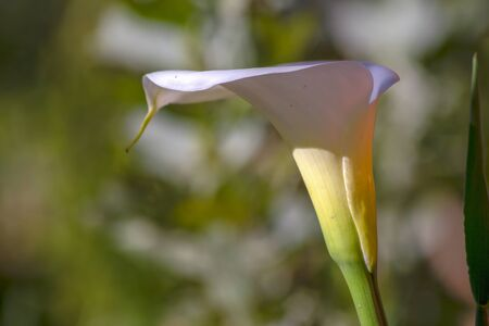 Close-up photography of an arum lily flower illuminated by the afternoon sun. Captured at the Andean mountains of central Colombia. 版權商用圖片