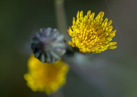 Macro photography of a dandelion blooming flower and a bud from the top. Captured at the Andean mountains of central Colombia. Фото со стока