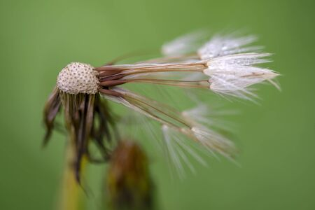 Macro photography of an almost seedless dandelion seed head with dew drops. Captured at the Andean mountains of central Colombia.