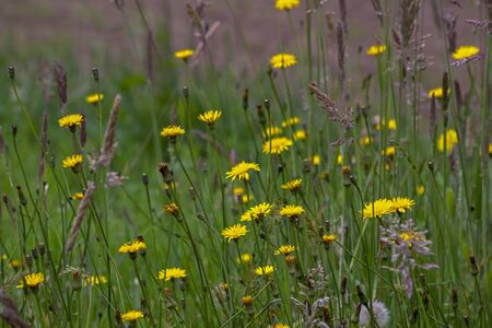 A field of dandelion flowers. Captured at the Andean mountains of central Colombia.