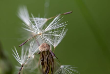 Macro photopgraphy of some dandelion seeds with few dew drops, near it seed head. Captured at the Andean mountains of central Colombia.