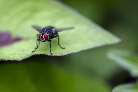 Macro photography of a stable fly standing on a green leaf. Captured at the Andean mountains of central Colombia.