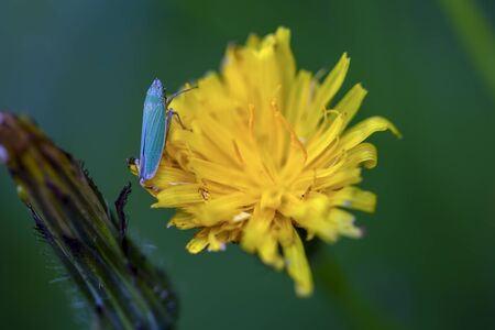 Macro photography of a tiny catydid on a dandelion flower. Captured at the Andean mountains of central Colombia.