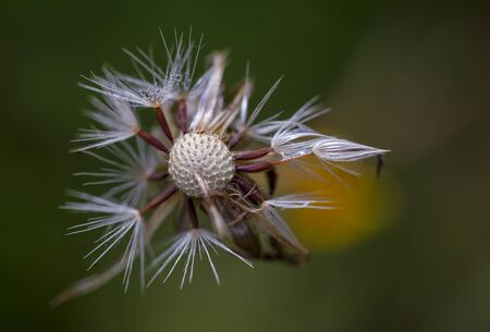 Macro photography of a half empty dandelion seed head with dew drops. Captured at the Andean mountains of central Colombia.