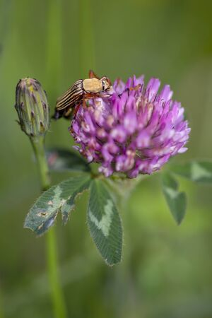 Macro photography of a striped scarab beetle feeeding on a red clover flower. Captured at the Andean mountains of central Colombia.