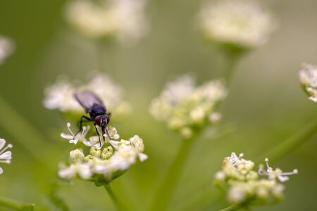 Macro photography of a fly feeding on a poison hemlock flower. Captured at the Andean mountains of central Colombia. Zdjęcie Seryjne