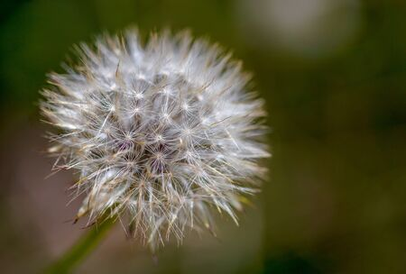 Macro photography of a dandelion seed puff, captured at the high Andean mountains of central Colombia. Stok Fotoğraf