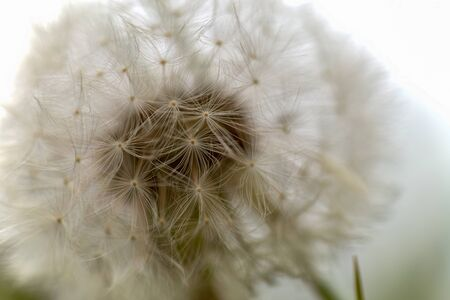 Macro photography of a dandelion seed head captured at the Andean mountains of central Colombia.