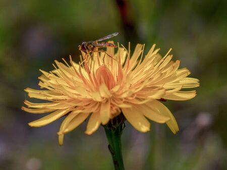 Macro photography of a hoverfly feeding on a dandelion flower. Captured at the highlands of the Andean mountains of central Colombia. Фото со стока