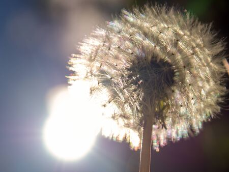 Macro photography of a dandelion seed head with the sun behind it. Captured at the Andean mountains of central Colombia.